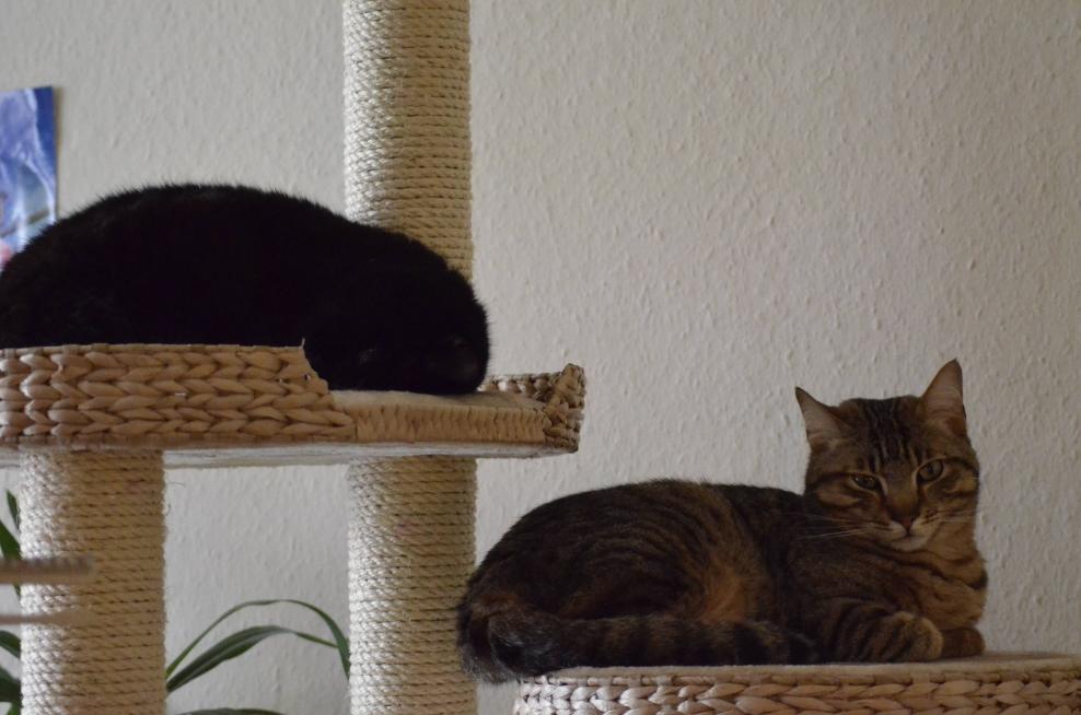 katzen forum ein ungleiches paar zusammenf hrung von einzelkater oskar mit scheuchen rodney. Black Bedroom Furniture Sets. Home Design Ideas