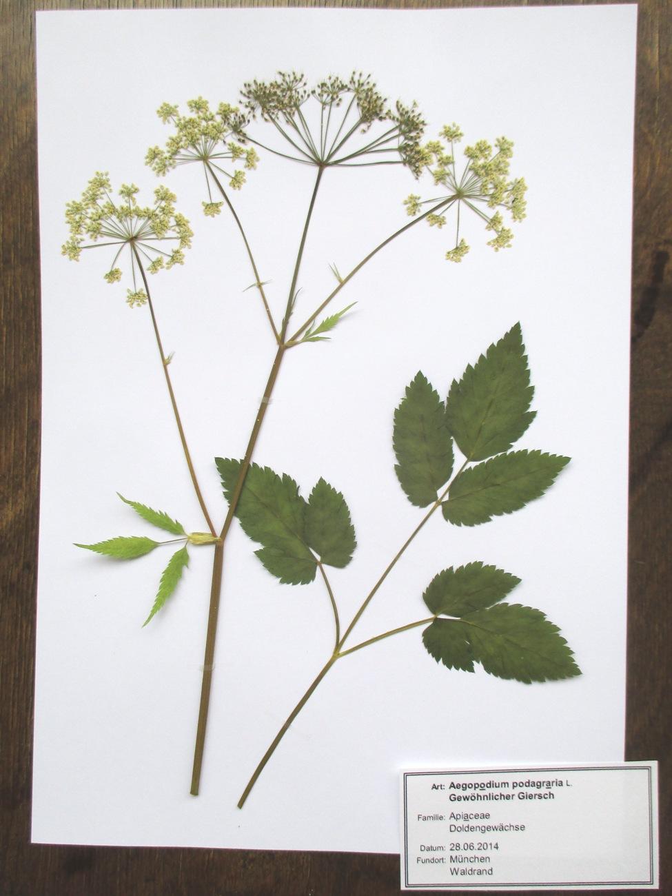 herbar herbarium 20 essbare pflanzen wildgem se und. Black Bedroom Furniture Sets. Home Design Ideas